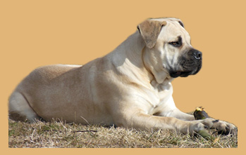 Assyrian Guard Boerboels
